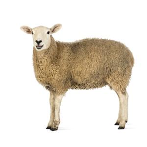Sandezia Sucha Dezynfekcja - owce zdjęcie miniaturka